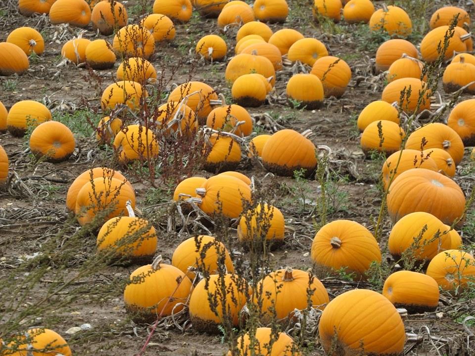 Norfolk Pumpkin Patches