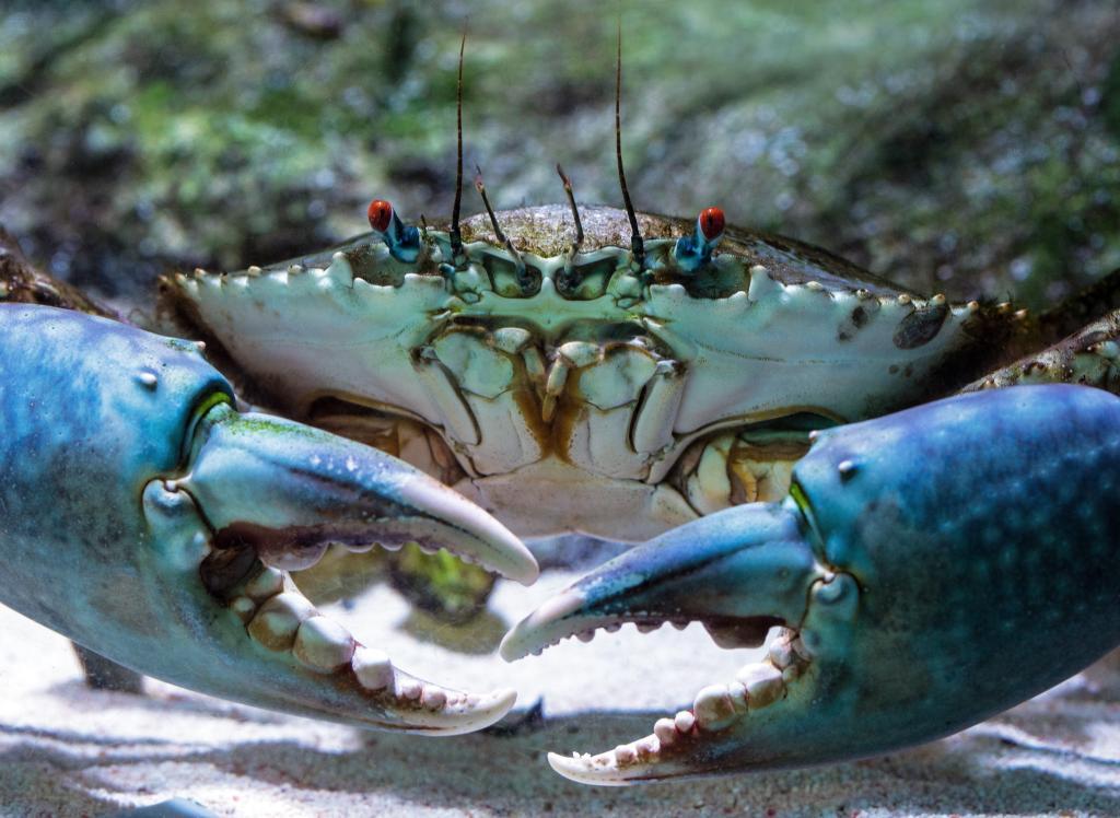 Giant Crab at Seahorse World Tasmania