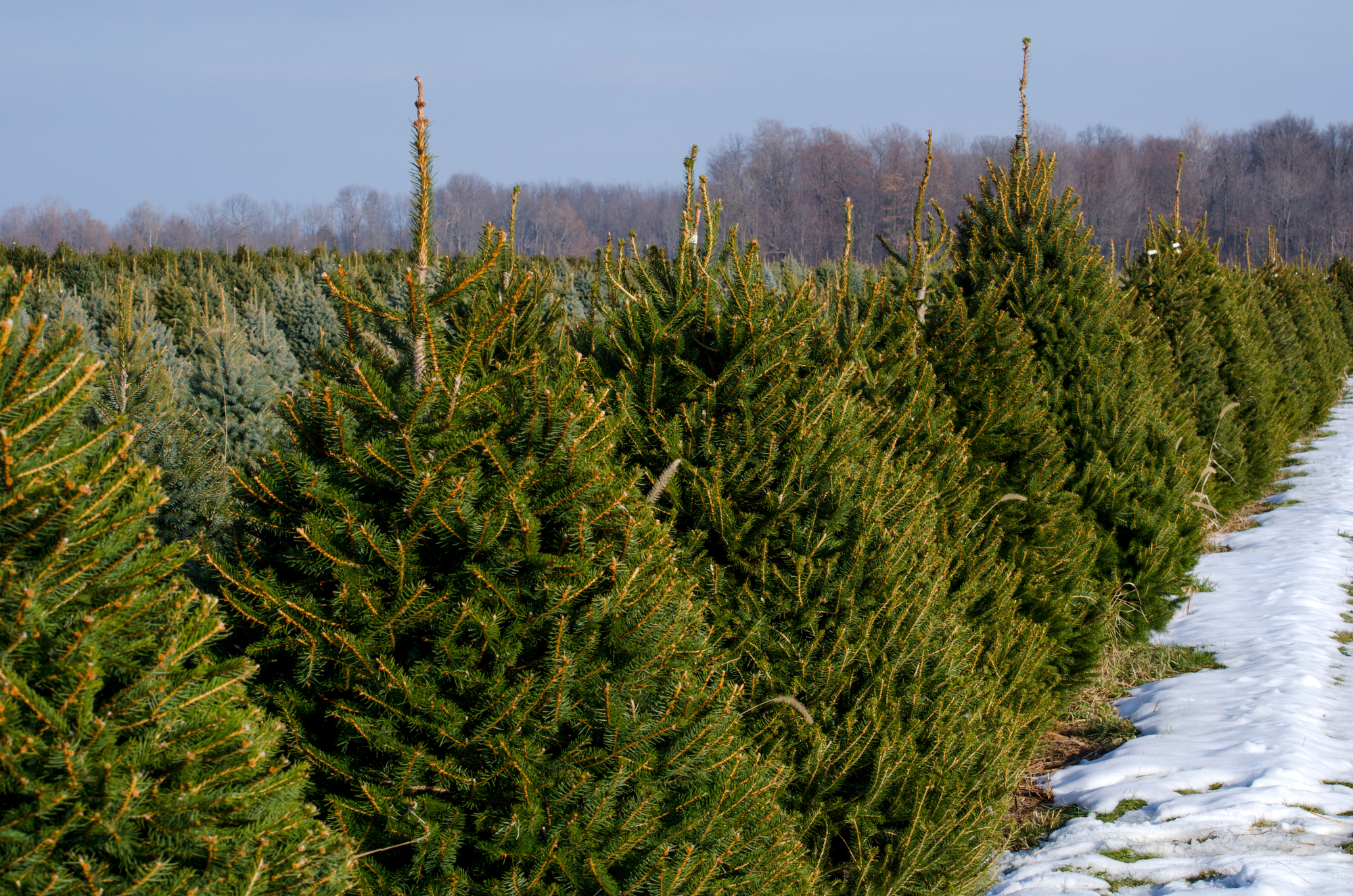 200 Of The Best Christmas Tree Farms To Visit