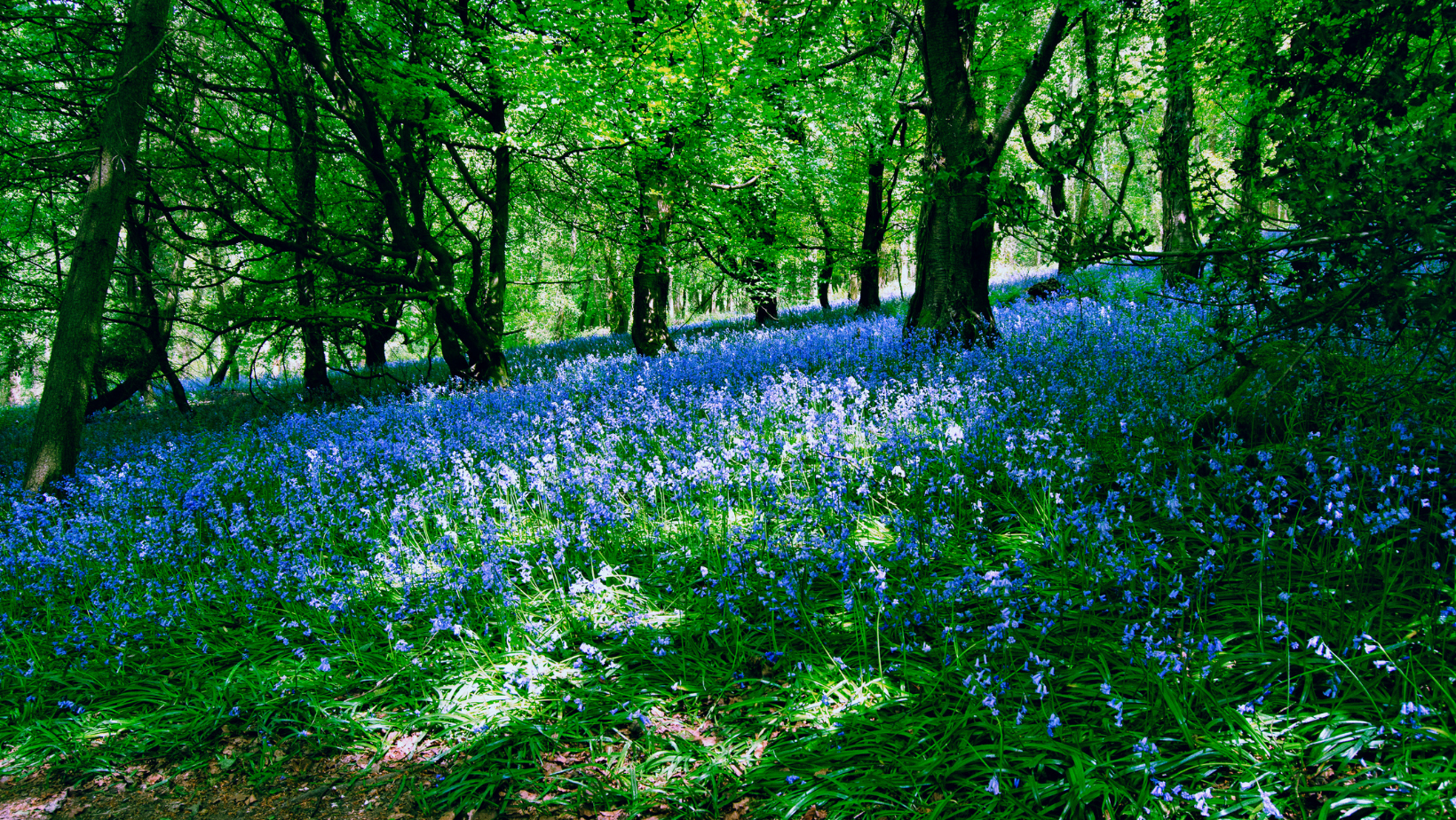 Bluebell Woods with the sun streaming through the trees