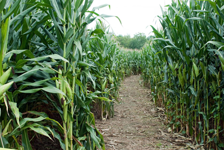 Inside A Maize Maze