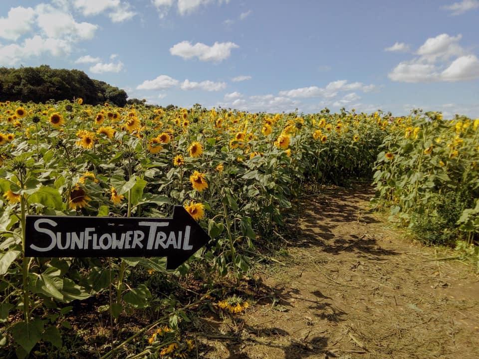 Sunflower Fields - the Pop Up Farm