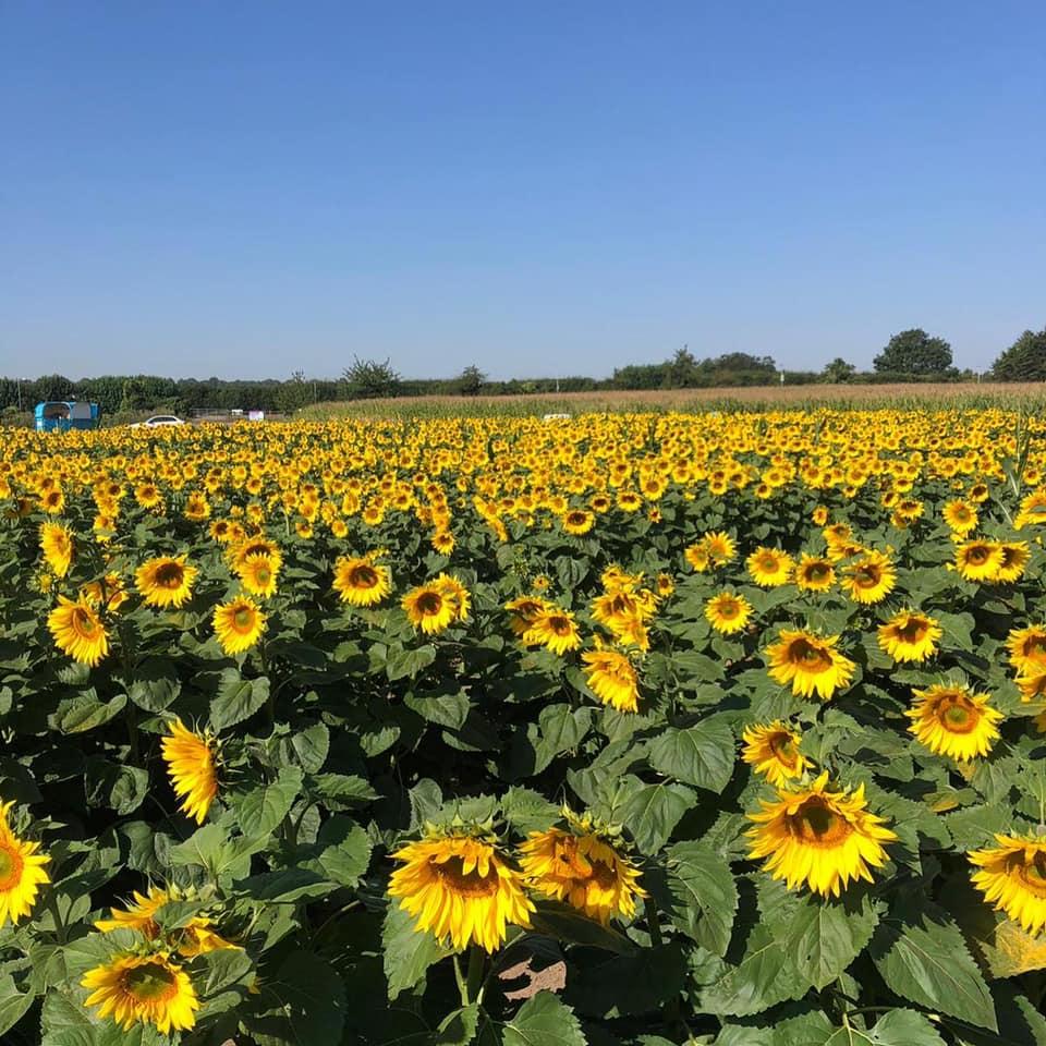 Sunflower Fields - Pumpkin Moon