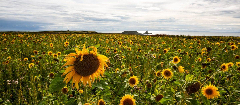 Sunflower fields - Rhossili Bay National trust